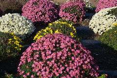 Small Chrysanthemum. The chrysanthemum flower is a national flower of Japan Royalty Free Stock Photography
