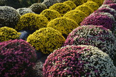 Small Chrysanthemum. The chrysanthemum flower is a national flower of Japan. This is a small chrysanthemum planted in a spherical shape stock photography