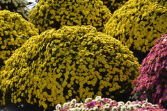 Small Chrysanthemum. The chrysanthemum flower is a national flower of Japan Stock Images