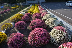 Small Chrysanthemum. The chrysanthemum flower is a national flower of Japan. This is a small chrysanthemum planted in a spherical shape stock photos