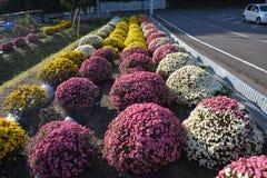 Small Chrysanthemum. The chrysanthemum flower is a national flower of Japan Stock Photos