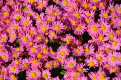 Small Chrysanthemum. The chrysanthemum flower is a national flower of Japan Stock Photography