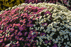 Small Chrysanthemum. The chrysanthemum flower is a national flower of Japan. This is a small chrysanthemum planted in a spherical shape stock image