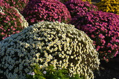 Small Chrysanthemum. The chrysanthemum flower is a national flower of Japan. This is a small chrysanthemum planted in a spherical shape stock photo