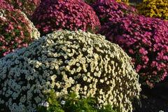 Small Chrysanthemum. The chrysanthemum flower is a national flower of Japan Stock Photo