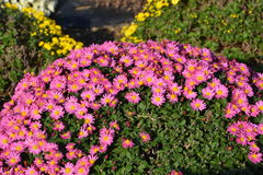 Small Chrysanthemum. The chrysanthemum flower is a national flower of Japan. This is a small chrysanthemum planted in a spherical shape royalty free stock photography