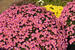 Small Chrysanthemum. The chrysanthemum flower is a national flower of Japan. This is a small chrysanthemum planted in a spherical shape stock images