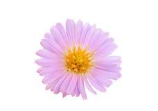 Small chrysanthemum flowers Royalty Free Stock Photos