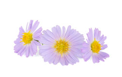 Small chrysanthemum flowers Stock Images