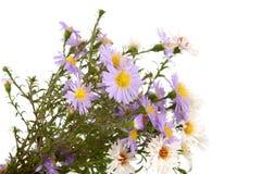 Small chrysanthemum flowers Stock Photo