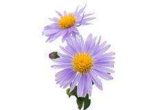 Small chrysanthemum flowers Royalty Free Stock Photography