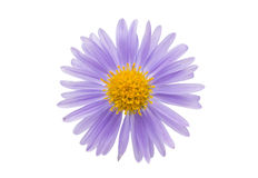 Small chrysanthemum flowers Stock Image