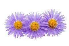 Small chrysanthemum flowers Stock Images