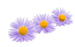 Small chrysanthemum flowers Stock Photography