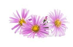 Small chrysanthemum Stock Photos