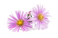 Small chrysanthemum Stock Photo
