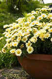 Small Chrysanthemum Stock Image