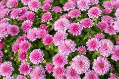 Small chrysanthemum pink Royalty Free Stock Photos