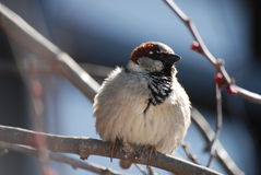 Small chubby sparrow sitting on a branch in the sunshine. Stock Image