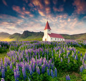 Small Church Surrounded Blooming Lupin Flowers In The Vik Villag Royalty Free Stock Photos