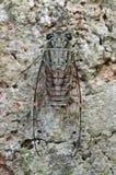 Small cicada Stock Photos