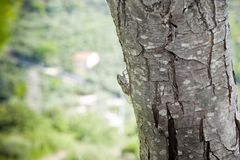Small cicada in a tree Royalty Free Stock Photography
