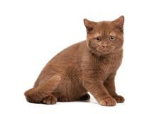 Small cinnamon british kitten on white Stock Photos