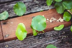 Small circle lotus leaves grow up near wooden floor. royalty free stock images