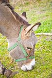 Small circus donkey Royalty Free Stock Images