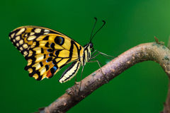 Small citrus butterfly. Tropical common lime butterfly on the tree. Macro photography of nature Stock Photos