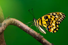 Small citrus butterfly. Tropical common lime butterfly on the tree. Macro photography of wildlife Stock Images