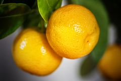 Calamondin fruits, cmall citrus. Small citrus Calamondin fruits on the branches, close up view Stock Photo