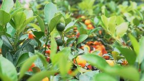 Small citrus trees grown in a greenhouse name of this Citrus is Yuzu.