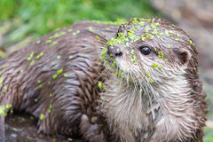 Small claw otter covered in duckweed Royalty Free Stock Image