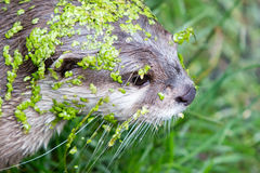 Small claw otter covered in duckweed Stock Images