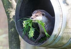 Small claw otter gathering nest material Royalty Free Stock Photography