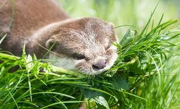 Small claw otter gathering nest material Stock Photography