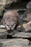 Small-clawed otter Stock Photos