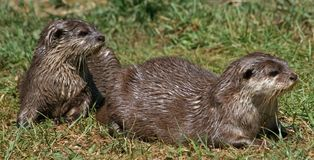 Small-clawed Otter 8 Royalty Free Stock Photography