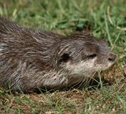 Small-clawed Otter 9 Stock Photography