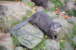 Small-clawed otter Stock Image