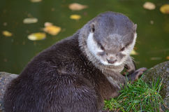 Small-clawed otter Royalty Free Stock Image