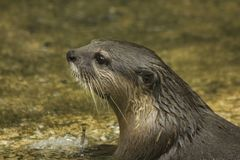 Small-clawed Otter is the smallest species in the world. royalty free stock photography