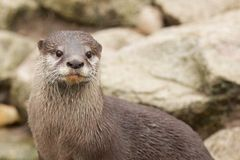 Wary Otter Stock Photos