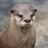 Small-clawed Otter portrait Royalty Free Stock Photos