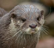 Small-clawed Otter Portrait Stock Image