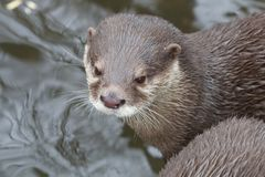 Small-clawed Otter Portrait. Portrait of a small-clawed or Asian otter, a cute predator from the Far East Stock Image