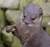 Small-clawed Otter Portrait. Portrait of a small-clawed or Asian otter, a cute predator from the Far East Royalty Free Stock Image