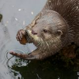 Small-clawed Otter Portrait. Portrait of a small-clawed or Asian otter, a cute predator from the Far East Stock Photos