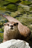 Small clawed otter Royalty Free Stock Photography